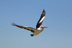 IMG_0566 (biqua) Tags: pelican nsw theentrance