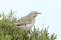 Meadow Pipit (Anthus pratensis) (sdflickr2) Tags: leicestershire meadow hills warren birdwatcher pipit