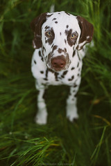 Sirius (Bea Burin-Herbst | Fotografie) Tags: dog pet love nature puppy 50mm spring outdoor natur naturallight hund sirius gras haustier dalmatian hunde frhling welpe rde dalmatiner petphotography petphotographer haustierfotograf haustierfotografie