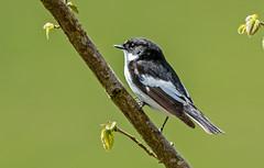 JWL4827 Pied Flycatcher.... (jefflack Wildlife&Nature) Tags: nature birds countryside woodlands wildlife avian flycatcher songbirds wildbirds piedflycatcher flycatchers