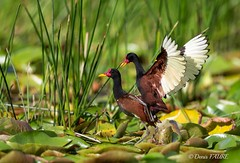 Jacana noir - Jacana jacana (denisfaure973) Tags: marais oiseaux guyane jacanajacana jacananoir