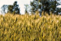 Frumento (Agnolo) Tags: grass nikon wheat campagna nikkor grano coutryside campi frumento 1685 casalesulsile d7100