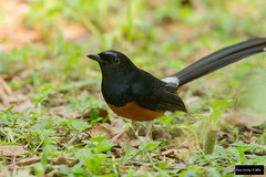 White-rumped Shama (Copsychus malabaricus) (Dave 2x) Tags: taiwan exotic taipei shama whiterumped released escaped introduced taipeibotanicalgardens copsychus malabaricus whiterumpedshama copsychusmalabaricus leastconcern
