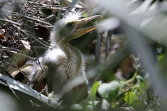 Lowry Park Zoo: Great Egret Chick (Jasmine'sCamera) Tags: park bird animal animals tampa zoo chick lowry greategret lowryparkzoo greategretchick