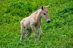 Konik foal (EeyaEeya) Tags: horse foal konik