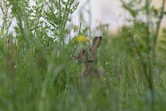 Peek-a-boo (KevPBur) Tags: wild flower rabbit eating peekaboo meadow ears foll browneye longgrass dintonpastures oryctolaguscuniculus canon650d canon70200mmf28lisiiusm canonextenderef2xiii canonrebelt4i canonkissx6i