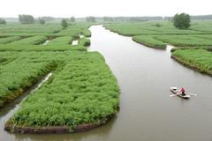 Green Rapeseed field  (MelindaChan ^..^) Tags: life china people plant green field boat spring fisherman mel farmer melinda agriculture jiangsu rapeseed xinghua   melindachan channmelmel