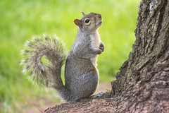 Do I smell food? (static_dynamic) Tags: nature animal squirrel