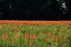 campo di papaveri 2 (ecordaphoto) Tags: red verde green nature alberi photo nikon natura poppy poppies rosso papaveri dx 55300 d5100