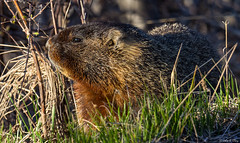 Yellow-Bellied Marmot (John Clay173) Tags: spring wyoming grandtetonnationalpark gtnp jclay