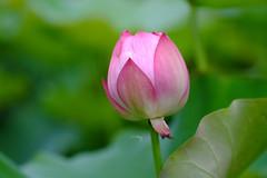 Lotus (Jill-Wang) Tags: macro bokeh 100mm fujifilm  leicar xpro1