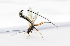 Sabre Wasp (TrotterFechan) Tags: sabre wasp