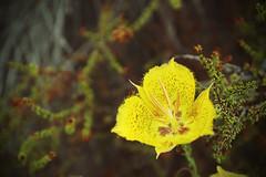 DSC00045e (Cyn Reynolds) Tags: elements13 orton 2016 calavera a7711 flower