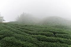 Foggy Ba Gua Tea Garden (stevenpng) Tags: taiwan teagarden teaplantation nantou  d810   nikoncapturenx2 nikongp1  nikkor1635mmf4gvr baguateagarden baquateagarden