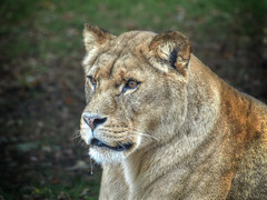 Concentration (foggyray90) Tags: vignette lioness concentration focus intensestare