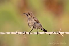 Palestine Sunbird (Tevaironi) Tags: bird nature sunbird wildbirds  palestinesunbird nectariniaosea israelibirds holylandbirds