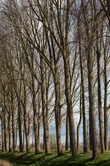 Cyclist dwarfed (paul indigo) Tags: trees scale landscape cyclist belgium path branches damme paulindigo