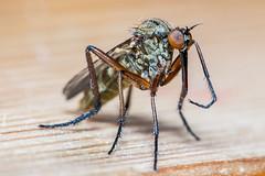 Snabel (Kent 40D) Tags: macro ben horn insekt snabel sigma150macro nb