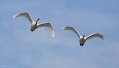 Tundra Swan F (martinaschneider) Tags: ontario bird birds swan flight bluesky aylmer tundraswan