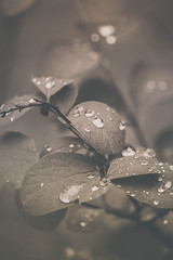 Water drops on leaves (Down_BSC) Tags: water up leaves drops close