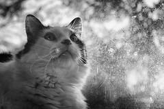Stars in His Eyes (Anne Worner) Tags: pet animal cat eyes nikon feline bokeh kitty fluffy ears whiskers lensflare flare selectivefocus monocrome shallowdof d7000 anneworner