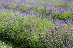 English lavender (tommyajohansson) Tags: flowers england flower fleur fleurs geotagged unitedkingdom lavender blumen surrey blomma blume blommor lavande mayfield lavanda lavendel faved banstead lavenderfarm englishlavender lavandulaangustifolia mayfieldlavender tommyajohansson