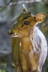 Cute portrait of a muntjak (Tambako the Jaguar) Tags: muntjak small deer cute portrait brown jonskleinefarm kallnach zoo bern switzerland nikon d4