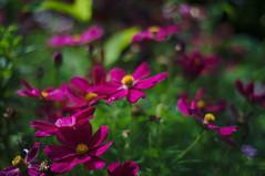 DSC_0029 (criscrot) Tags: nancy lorraine parcsaintemarie bokeh été summer 50mm18 d3 nature fleurs flower