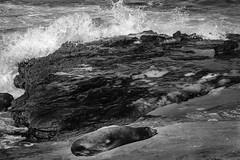 Nothing beats an afternoon nap (Hanson Brothers) Tags: ocean vacation beach pelicans birds surf waves lajolla pacificocean birdsinflight californiabrownpelican fujinon1855 fujixt1 fujinonxf2314