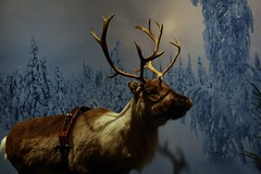 Reindeer (blondinrikard) Tags: christmas göteborg reindeer taxidermy deer liseberg ren jul julpåliseberg