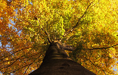 Autumn Tree (Habub3) Tags: autumn tree canon germany deutschland herbst powershot baum g12 2014 kernen remstal habub3