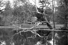 mirror (Jane Inman Stormer) Tags: trees ohio blackandwhite lake reflection tree fall water cemetery graveyard landscape mirror pond branch cincinnati sycamore cypress