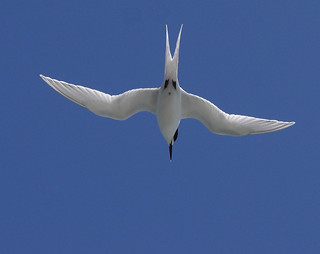 White fronted tern, Sterna striata, diving