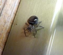 Possibly Zenodorus orbiculatus (now renamed Omoedus orbiculatus). Salticidae (gailhampshire) Tags: spiders australia now possibly renamed salticidae zenodorus orbiculatus omoedus taxonomy:binomial=omoedusorbiculatus