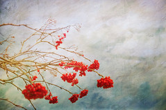a winter's garden (anniedaisybaby) Tags: winter tree river garden berries textures mountainash cs4 fromthearchives thanksto inthememoriesbook kerstinfrank texturingtheworld wintersgarden gestaltgroup