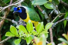 Cyanocorax Yncas (José M. Arboleda) Tags: ave bird quinquina carriquí verdiamarillo cyanocorax yncas popayán josémarboledac hganimalsonly sp150600mmf563divcusda011 tamron markiii canon colombia 5d