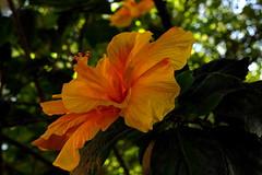 Hibiscus. (williams.darrell53) Tags: new orange flower yellow wales canon flora south australia hibiscus 花 morpeth цветок