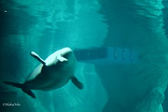 The Princess of the Lagoon (Haku_Orka) Tags: ice valencia pool spain whale beluga oceanografic yulka balena