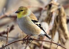 American goldfinch male along Prairie Farmer Trail, Winneshiek Co. IA IMG_6918 (lreis_naturalist) Tags: county goldfinch reis iowa trail american larry farmer prairie winneshiek