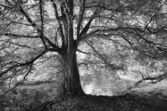 The Other Side (Russ Barnes Photography) Tags: blackandwhite tree mono nikon monochromatic infrared warwick warwickshire d800 tiltshift 720nm saxonmill nikkor24mmpce russbarnes
