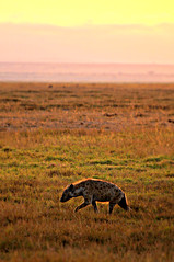 Hunchback Hyena (Ashwati Vipin - On Short Hiatus) Tags: africa morning travel light vacation nature grass sunshine animal sunrise landscape morninglight nikon skies colours kenya wildlife adventure safari savannah wilderness hyena biodiversity amboseli eastafrica wildsafari earlymorningsun nikonusers amboselinationalpark nikond5000
