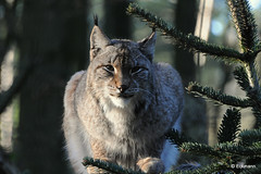 Luchs (Lynx) (Nephentes Phinena ☮) Tags: luchs eurasianlynx eurasischerluchs