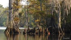LANDSCAPE (t.rex7000) Tags: alabama bayou swamp spanishmoss cypresstrees cypressknees deadlake mobiletensawdelta trex7000