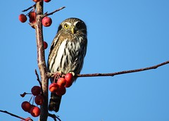 Noah Philips, pygmy owl in Miller Creek