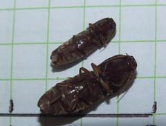 Elateridae>Agrypnus? Brown Click beetle DSCF6235 (Bill & Mark Bell) Tags: exmouth westernaustralia australia geo:town=exmouth geo:state=westernaustralia geo:country=australia geo:lon=11425453egeolat2217752sgeoalt8m 11425453e2217752salt8m taxonomy:kingdom=animalia animalia taxonomy:phylum=arthropoda arthropoda taxonomy:class=insecta insecta taxonomy:order=coleoptera coleoptera taxonomy:family=elateridae elateridae taxonomy:genus=agrypnus agrypnus taxonomycommonnamebrownclickbeetle brownclickbeetle beetle