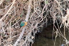 Kingfisher (Yoshihiro Ogawa) Tags: bird birds aves kingfisher