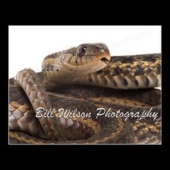 Garter Snake (wildlifephotonj) Tags: nature snake wildlife snakes naturephotography gartersnake naturephotos wildlifephotography wildlifephotos gartersnakes natureprints wildlifephotographynj naturephotographynj