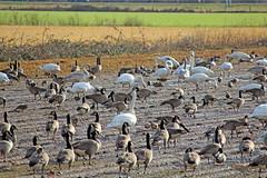 2015 Jan 16 Boundary Bay 4780 (digitalmarbles) Tags: nature field animals geese bc britishcolumbia farm wildlife ducks swans mallard birder trumpeter lowermainland deltabc birdphoto