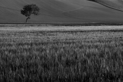 / (simoncini.nicola) Tags: blackandwhite tree nature monochrome field countryside outdoor shape recanati marche