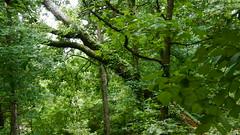 DSCN1429 (VerlynC) Tags: tree falling hickory